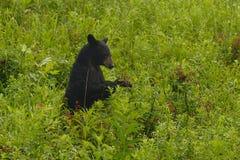 niedźwiadkowa jagoda Obrazy Royalty Free