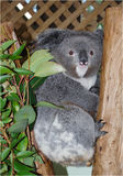 niedźwiadkowa koala Obrazy Royalty Free