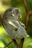 niedźwiadkowa koala Obraz Stock