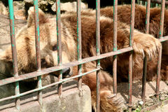 niedźwiadkowa niewola obraz royalty free