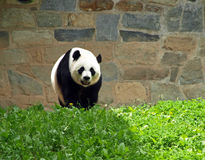 niedźwiadkowa panda Fotografia Royalty Free