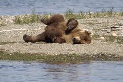 niedźwiadkowa rolka Obraz Stock