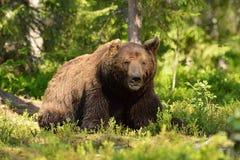 niedźwiadkowa samiec Obraz Royalty Free