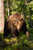 niedźwiadkowa samiec Zdjęcia Stock