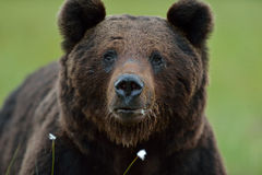 niedźwiadkowa samiec Fotografia Stock