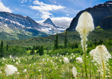 Niedźwiadkowa trawa na górze przy lodowa parkiem narodowym 2 Zdjęcia Royalty Free