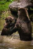 Niedźwiadkowa walka Zdjęcie Royalty Free