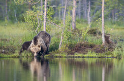 Niedźwiadkowa woda pitna Zdjęcia Stock