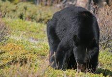 niedźwiadkowe jagody Zdjęcia Stock