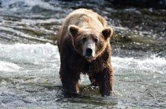 niedźwiadkowego grizzly wielka pozyci woda Obrazy Royalty Free