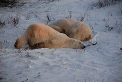 niedźwiadkowi biegunowi potomstwa Obraz Royalty Free