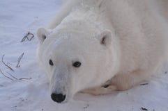 niedźwiadkowi biegunowi potomstwa Zdjęcie Stock