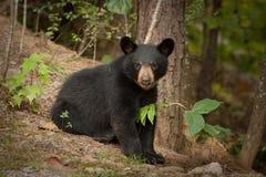 niedźwiadkowi dzicy potomstwa Zdjęcia Stock