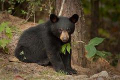 niedźwiadkowi dzicy potomstwa Zdjęcie Royalty Free