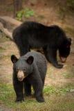 niedźwiadkowi dzicy potomstwa Obraz Stock