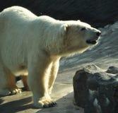 niedźwiadkowy biegunowy obrazy stock