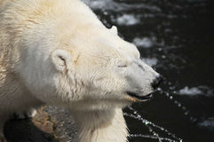 niedźwiadkowy biegunowy Obraz Royalty Free