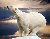 niedźwiadkowy biegunowy Zdjęcie Stock