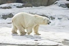 niedźwiadkowy biegunowy biel Fotografia Stock