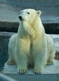 niedźwiadkowy biegunowy zoo Zdjęcie Stock