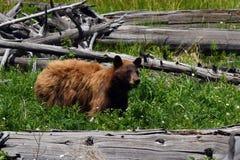 niedźwiadkowy czarny cynamon Fotografia Royalty Free