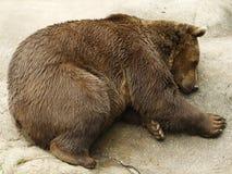 niedźwiadkowy dosypianie Zdjęcia Stock
