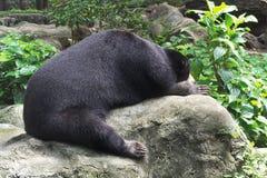 Niedźwiadkowy dosypianie na skale Fotografia Royalty Free