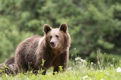 niedźwiadkowy eurasian zdjęcia stock