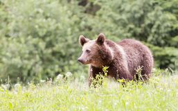 niedźwiadkowy eurasian zdjęcie royalty free