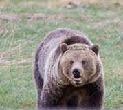 niedźwiadkowy grizzly Obraz Royalty Free