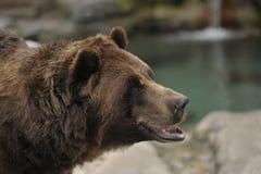 niedźwiadkowy grizzly Obraz Stock