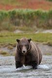 niedźwiadkowy grizzly Obrazy Royalty Free