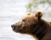 niedźwiadkowy Kamchatka Fotografia Stock
