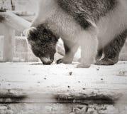 Niedźwiadkowy polowanie Obrazy Royalty Free