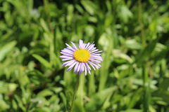 Niedźwiadkowy Rzeczny Fleabane kwiat - Erigeron Ursinus Obraz Stock