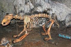 Niedźwiadkowy scheleton Zdjęcie Royalty Free