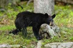 niedźwiadkowy skalisty Obrazy Stock