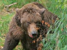 niedźwiadkowy spotkanie Obraz Stock