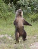 niedźwiadkowy taniec Obrazy Stock