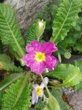 Niedźwiadkowy uszaty kwiat Obraz Stock