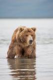 Niedźwiedzi spojrzenia dla ryba w wodzie Fotografia Royalty Free