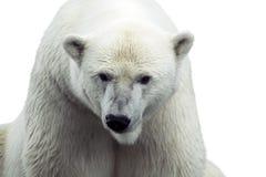 niedźwiedzia biegunowy odosobniony Fotografia Stock