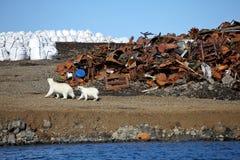 Niedźwiedzia polarnego przetrwanie w Arktycznym Obrazy Royalty Free