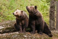 niedźwiedzie dwa Zdjęcie Stock