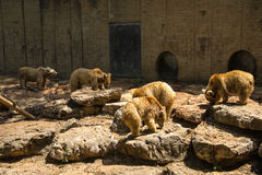 Niedźwiedzie je ryba Obraz Royalty Free
