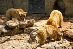 Niedźwiedzie je ryba Zdjęcia Royalty Free