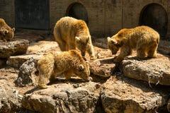 Niedźwiedzie je ryba Zdjęcie Royalty Free