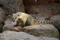 niedźwiedzie odizolowanych coati gatunków Fotografia Royalty Free