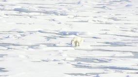 Niedźwiedzie polarni chodzi w arktycznym zbiory wideo