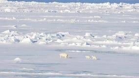 Niedźwiedzie polarni chodzi w arktycznym zdjęcie wideo